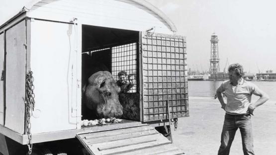 Foto en blanco y negro de llegada del circo Americano trasnportando a un hipopótamo