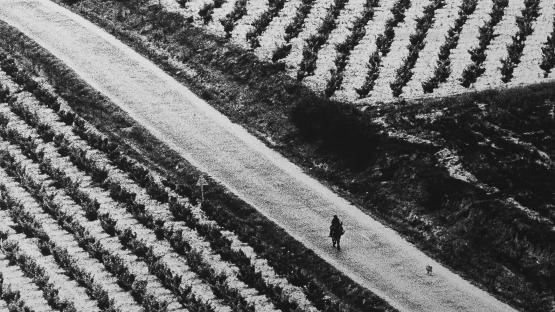 Foto en blanc i negre. Es veuen uns camps de vinyes i un cami al mig amb una persona dalt d'un burro