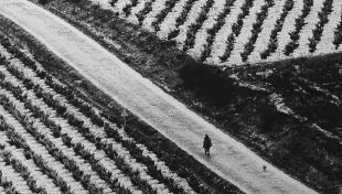 Foto en blanco y negro. Se ven unos campos de viñas y  un camnoi que los cruza con una persona encima de un burro