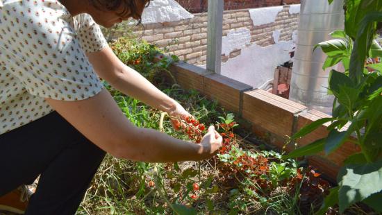 """Tomàquets """"xerry"""" cultivats en l'hort urbà situat sobre la terrassa del restaurant"""