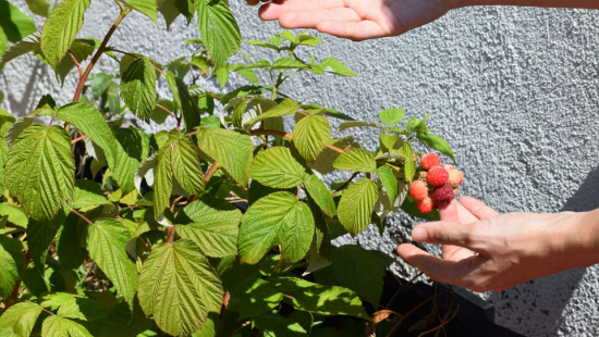 Plant with raspberries