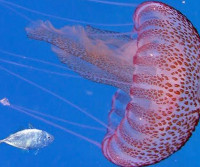 Of jellyfishes, the sea goes from there full